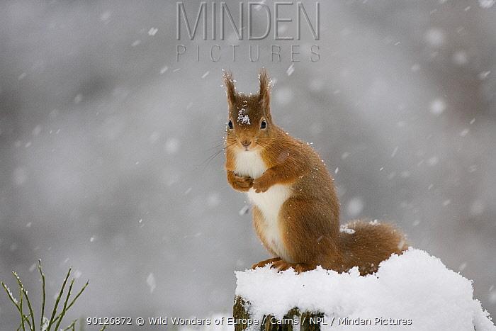 Red squirrel (Sciurus vulgaris) sitting on snow covered tree stump, Glenfeshie, Cairngorms NP, Scotland, February 2009  -  WWE/ Cairns/ npl