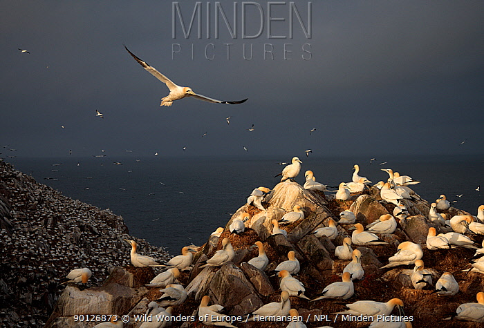 Northern gannets (Sula bassana) colony, Saltee Islands, County Wexford, Ireland, June 2009  -  WWE/ Hermansen/ npl