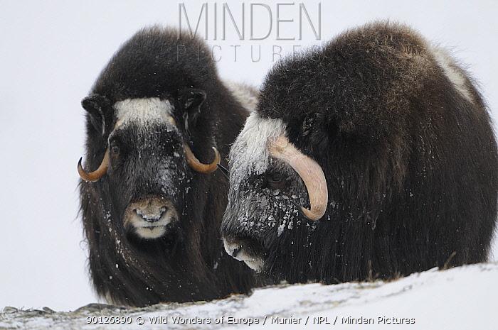 Two Muskox (Ovibos moschatus) in snow, Dovrefjell National Park, Norway, February 2009  -  WWE/ Munier/ npl
