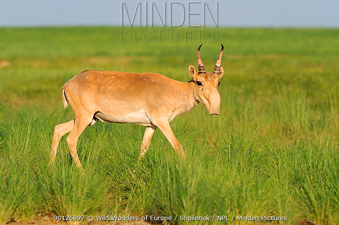 Male Saiga antelope (Saiga tatarica) in the steppe of Cherniye Zemly (Black Earth) Nature Reserve, Kalmykia, Russia, April 2009  -  WWE/ Shpilenok/ npl