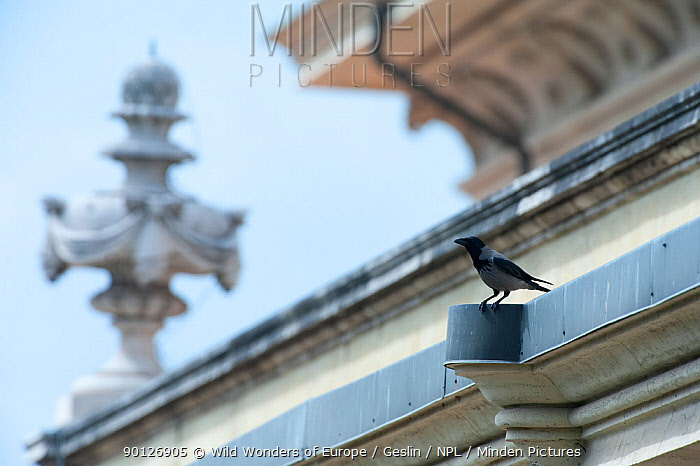 Hooded crow (Corvus corone cornix) perched on church building in the Vatican garden, Rome, Italy, March 2010  -  WWE/ Geslin/ npl