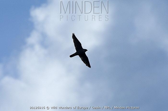 Peregrine falcon (Falco peregrinus) in flight, Vatican garden, Rome, Italy, March 2010  -  WWE/ Geslin/ npl