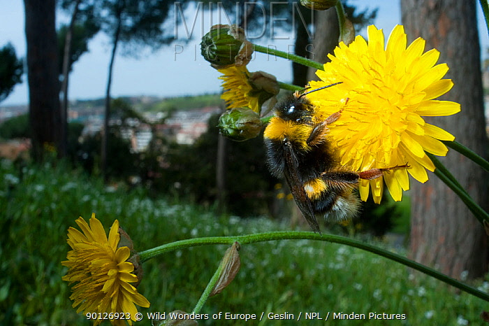 White tailed bumblebee (Bombus lucorum) collecting nectar from Dandelion flower (Taraxacum officinale) in the Vatican garden, Rome, Italy, March 2010  -  WWE/ Geslin/ npl