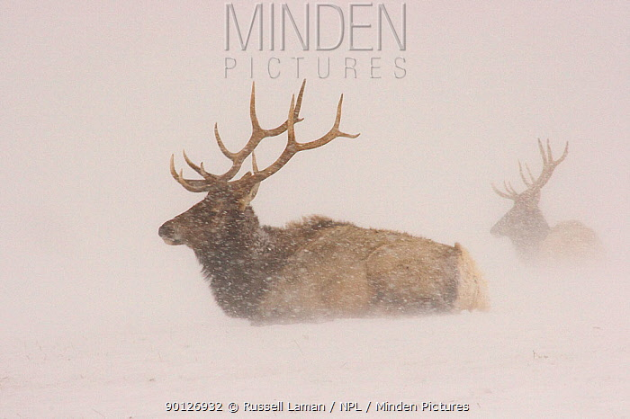 Elk (Cervus canadensis) in a snowstorm National Elk Refuge, Jackson Hole, Wyoming, USA HIGHLY COMMENDED: Ten years and under in the Young Wildlife Photographer of the Year competition 2010  -  Russell Laman/ npl