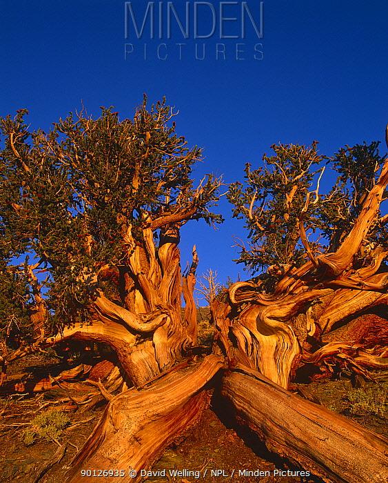 Bristlecone pine (Pinus aristata 'longaeva') ancient tree, White Mountains, California USA  -  David Welling/ npl
