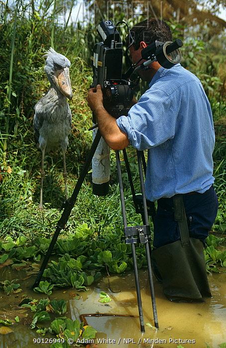 Cameraman Barrie Britton filming captive Shoebill stork (Balaeniceps rex) Uganda, for BBC Life of Birds  -  Adam White/ npl