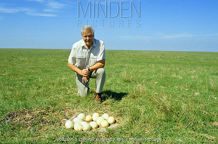 David Attenborough next to nest of rhea eggs, on location in Argentina 1997 for BBC Life of Birds series  -  Peter Bassett/ npl