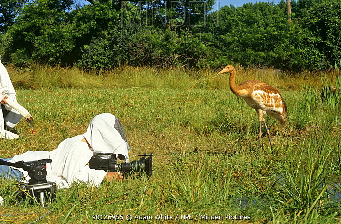 Filming imature Whooper cranes for BBC Life of Birds series Camerman Richard Ganniclift wears outfit so birds do not get used to humans  -  Adam White/ npl