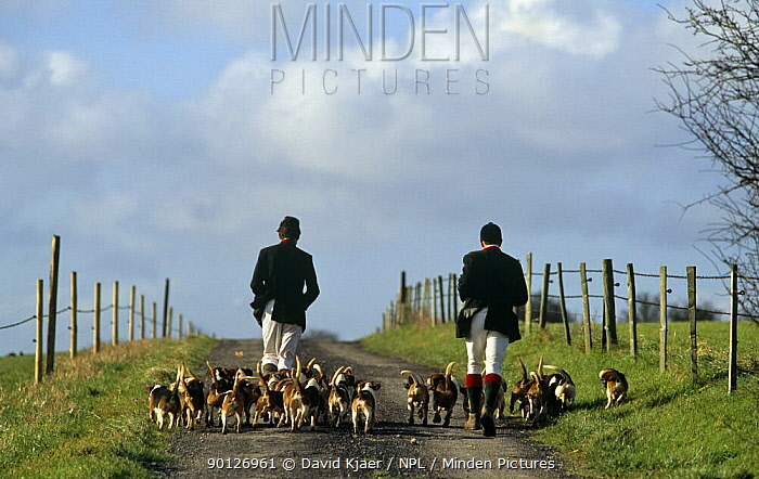 Wiltshire and Infantry beagles on Wiltshire Downs England UK dogs, 2000  -  David Kjaer/ npl