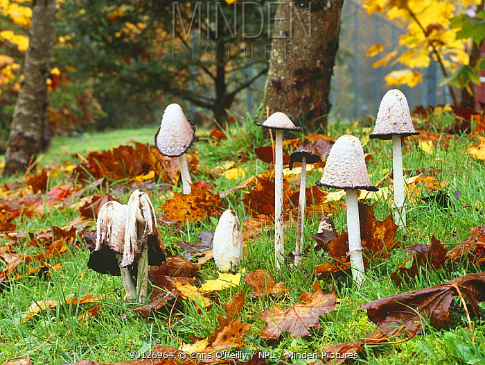Shaggy ink caps fungi (Coprinus comatus) in various stages of deliquescence, Killykeen forest, Co Cavan, Ireland  -  Chris O'Reilly/ npl