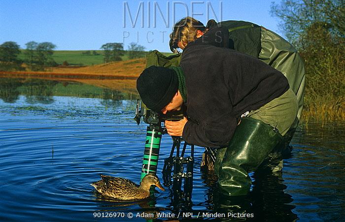 Filming mallard underwater for BBC Life of Birds, Priddy Pool Somerset UK  -  Adam White/ npl