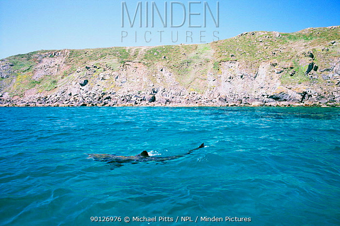 Basking shark feeding at surface (Cetorhinus maximus) Cornwall, UK  -  Michael Pitts/ npl