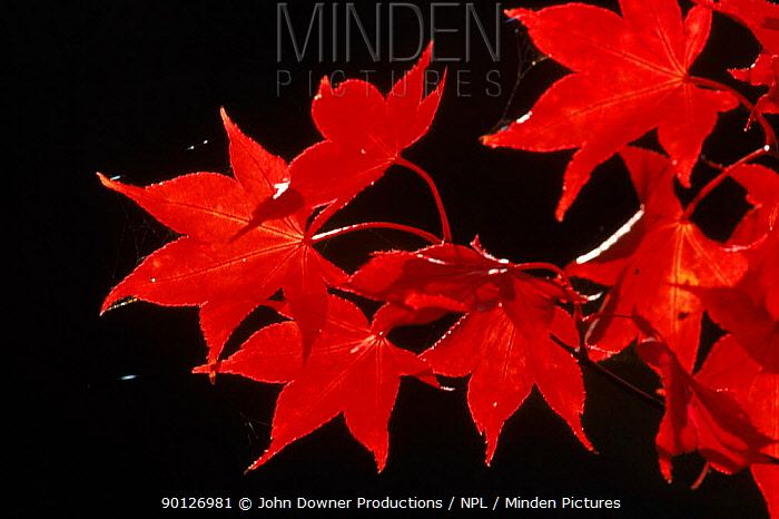 Japanese maple (Acer japonicum) leaves in autumn Westonbirt Arboretum, Gloucestershire, England, UK, Europe  -  John Downer/ npl