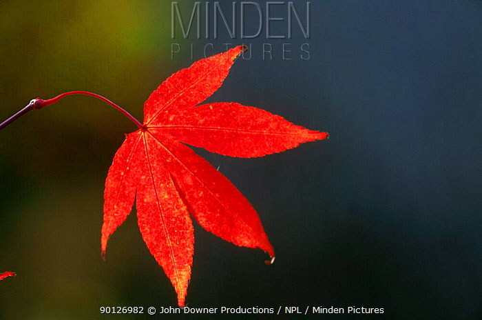 Japanese maple leaves (Acer japonicum) in autumn Westonbirt Arboretum, Gloucestershire, England, UK, Europe  -  John Downer/ npl