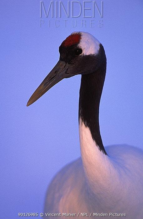 Japanese crane head portrait (Grus japonensis) Akan NP, Hokkaido, Japan  -  Vincent Munier/ npl