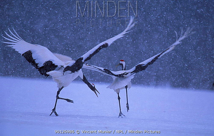 Japanese crane courtship dance (Grus japonensis) in snow Akan NP, Hokkaido, Japan  -  Vincent Munier/ npl