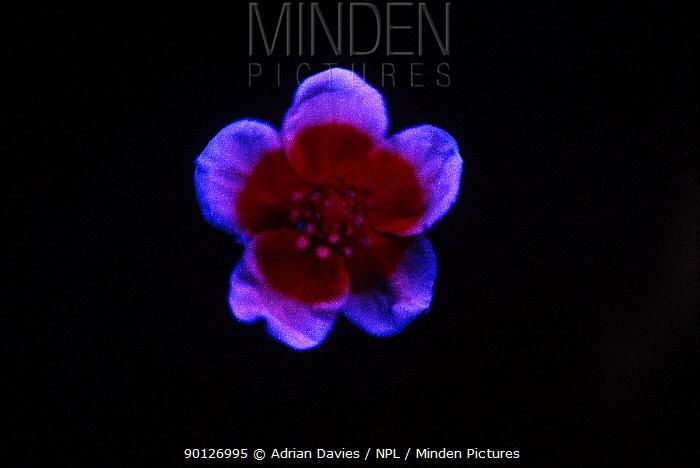 Silverweed flower (Potentilla anserina) under ultra violet light, sequence 2, 2  -  Adrian Davies/ npl