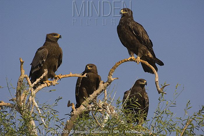 Steppe eagles (Aquila nipalensis) perching on a tree, Bikaner, Rajasthan, India  -  Bernard Castelein/ npl
