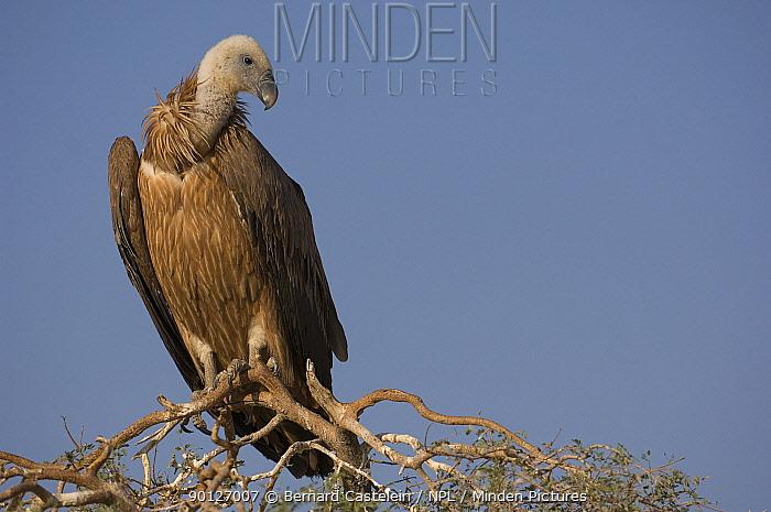 Juvenile eurasian griffon vulture (Gyps fulvus) perched on tree, Bikaner, Rajasthan, India  -  Bernard Castelein/ npl
