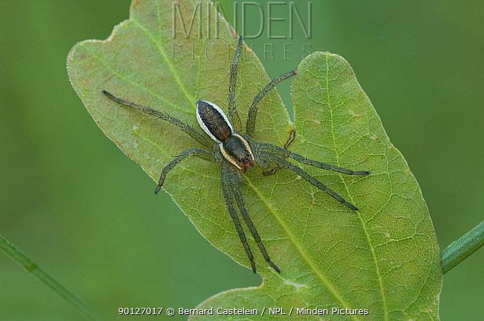 Swamp, Raft spider ( Dolomedes fimbriatus) juvenile on leaf, Belgium  -  Bernard Castelein/ npl