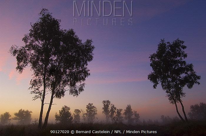 Birch tree (Betula pendula) just before sunrise  -  Bernard Castelein/ npl