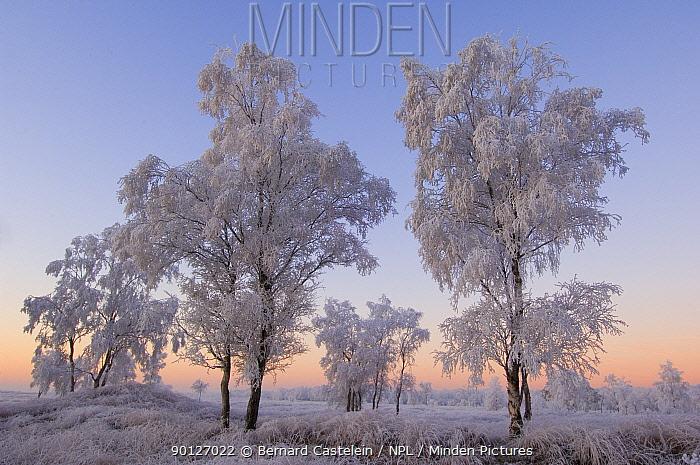 Birch trees and grass covered in heavy hoar frost, Groot Schietveld, Wuustwezel, Belgium  -  Bernard Castelein/ npl