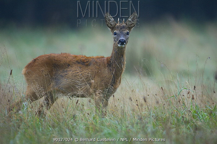 Roe Deer (Capreolus capreolus) young male in the early morning, Belgium  -  Bernard Castelein/ npl