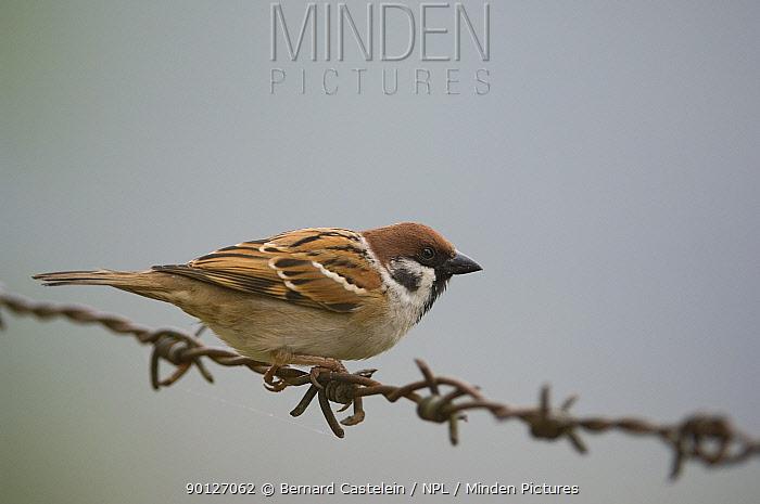 Eurasian Tree Sparrow (Passer montanus) perched on wire, Sikkim, India  -  Bernard Castelein/ npl