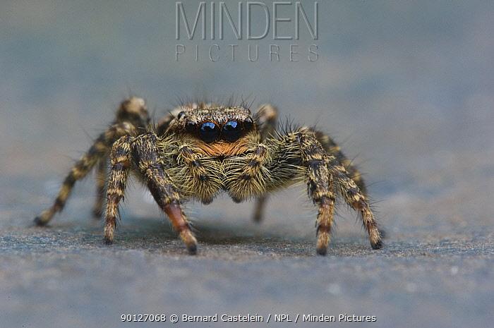 Fence post Jumping spider (Marpissa muscosa) Belgium  -  Bernard Castelein/ npl