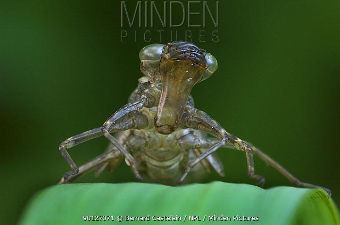 Empty skin of larva of Southern Hawker (Aeshna cyanea) Belgium  -  Bernard Castelein/ npl