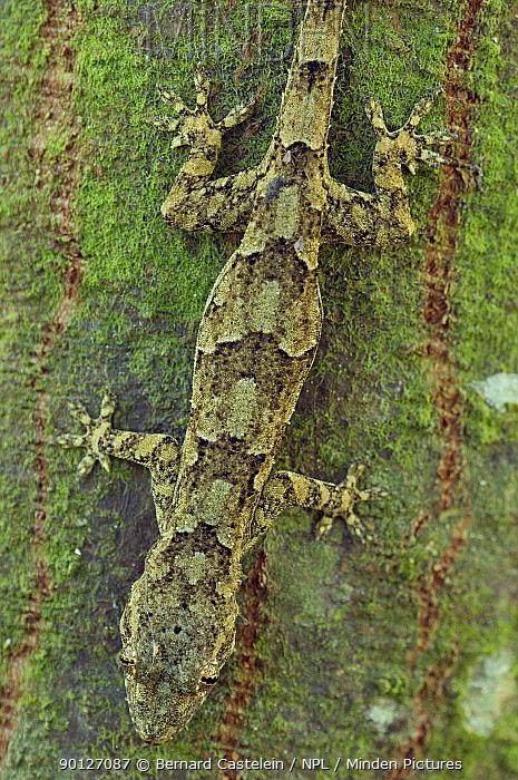 Tree Gecko (Hemidactylus platycephalus) camouflaged on tree trunk, Jozani Chwaka Bay NP, Zanzibar, Tanzania  -  Bernard Castelein/ npl