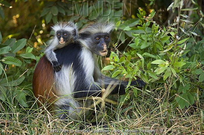 Zanzibar, Kirks Red Colobus monkey (Piliocolobus, Procolobus kirkii) female with young on forest floor, Jozani Chwaka Bay NP, Zanzibar, Tanzania  -  Bernard Castelein/ npl