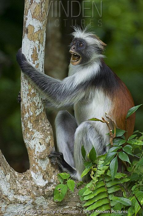 Zanzibar, Kirks Red Colobus monkey (Piliocolobus, Procolobus kirkii) adult calling, Jozani Chwaka Bay NP, Zanzibar, Tanzania  -  Bernard Castelein/ npl