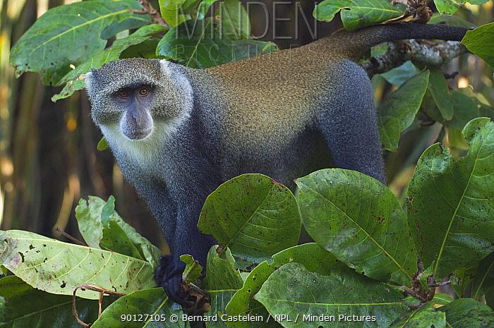 Blue monkey (Cercopithecus mitis) male, Jozani Chwaka Bay NP, Zanzibar, Tanzania  -  Bernard Castelein/ npl
