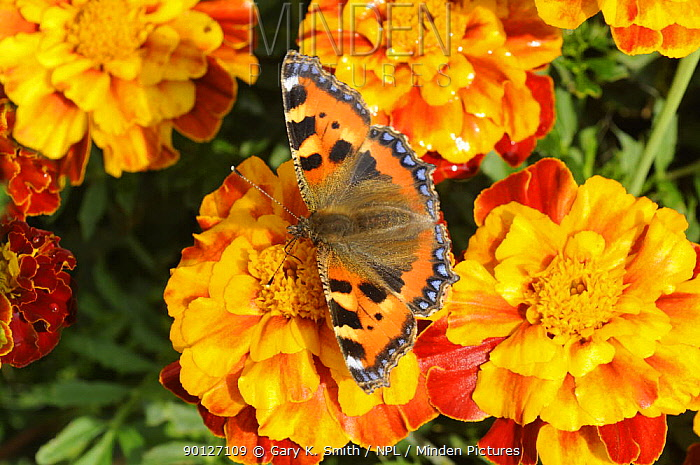 Small Tortoiseshell butterfly (Aglais urticae) feeding on garden marigold flowers, UK, September  -  Gary K. Smith/ npl