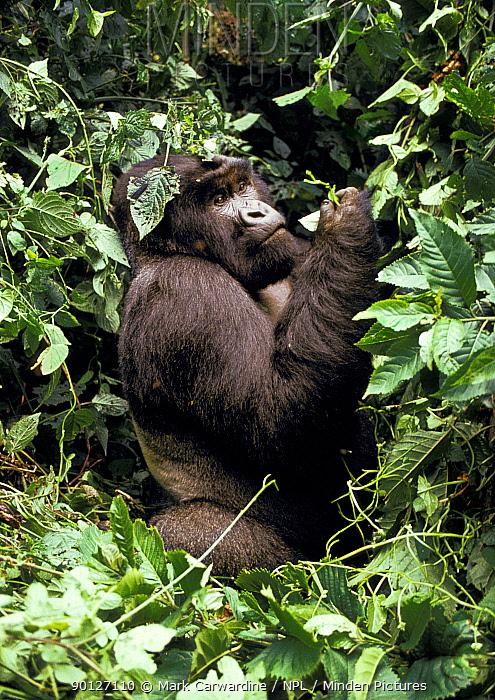 Mountain gorilla (Gorilla gorilla beringei) Virunga volcanoes, Zaire  -  Mark Carwardine/ npl