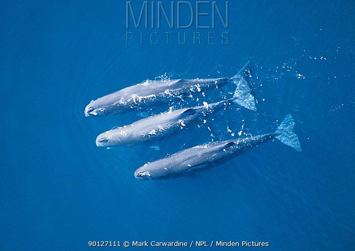 Sperm whale pod swimming aerial (Physeter macrocephalus) Sea of Cortez, Mexico  -  Mark Carwardine/ npl