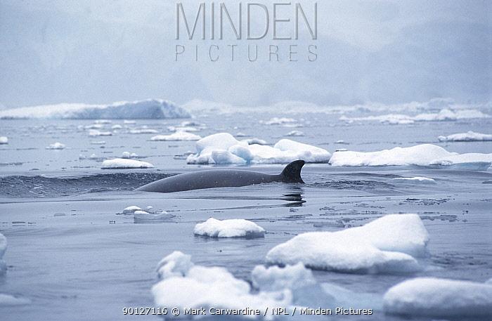 Antarctic minke whale surfacing (Balaenoptera bonaerensis) Antarctica  -  Mark Carwardine/ npl