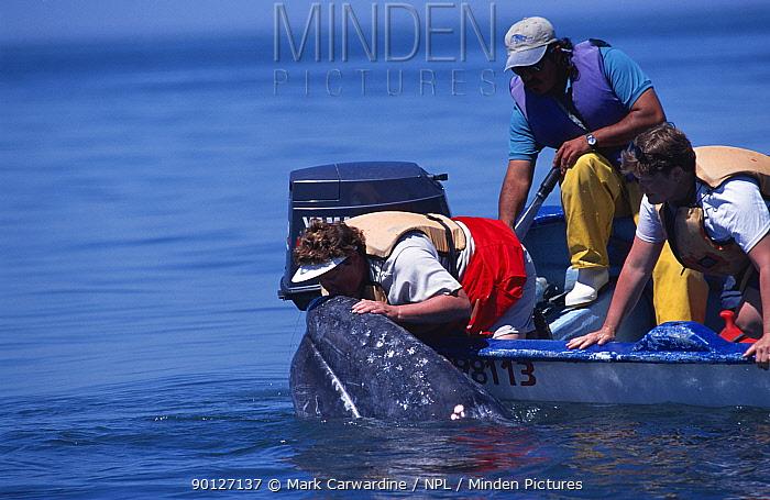 Tourists in close contact with friendly Grey whale, Baja California, Mexico (Eschrichtus robustus)  -  Mark Carwardine/ npl
