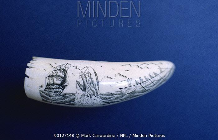 Whaling, decorative art on Sperm whale tooth, Faial, Azores  -  Mark Carwardine/ npl