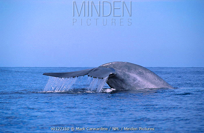 Blue whale fluking (Balaenoptera musculus) Sea of Cortez, Mexico  -  Mark Carwardine/ npl
