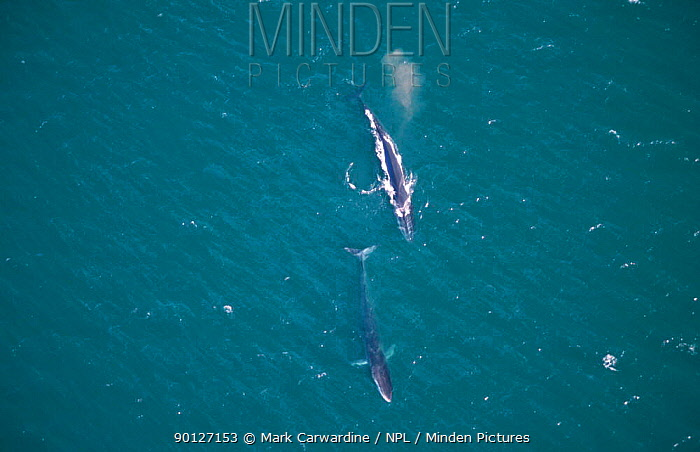 Aerial view of two Fin whales travelling, Sea of Cortez, Mexico (Balaenoptera physalus)  -  Mark Carwardine/ npl