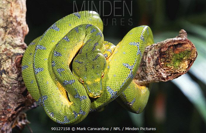 Green tree python (Chondopython viridis) captive  -  Mark Carwardine/ npl