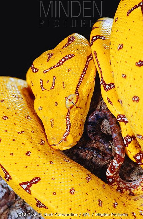 Juvenile Green tree python (Chondopython viridis) captive  -  Mark Carwardine/ npl