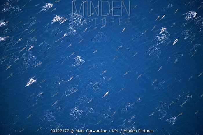 Aerial view of large school of Common dolphins (Delphinus delphis) Mexico, Sea of Cortez  -  Mark Carwardine/ npl
