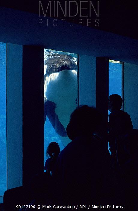 Watching Killer whale underwater in aquarium (Orcinus orca) USA  -  Mark Carwardine/ npl