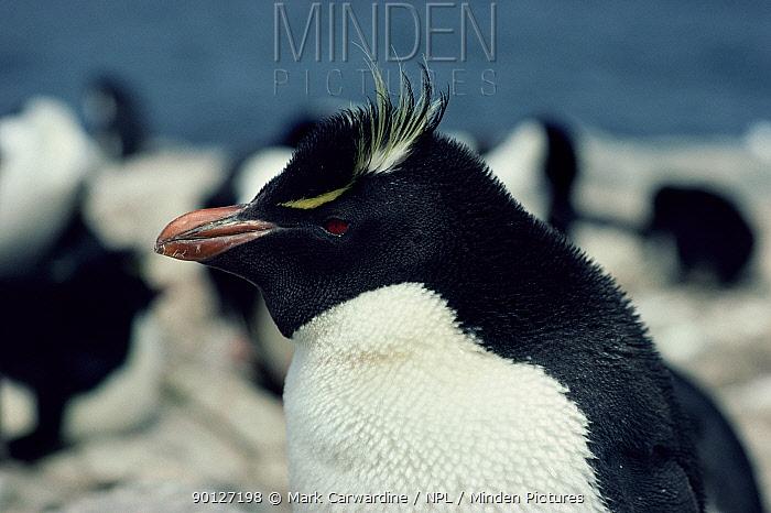 Rockhopper penguin (Eudyptes chrysocome, crestatus) Falkland Is  -  Mark Carwardine/ npl