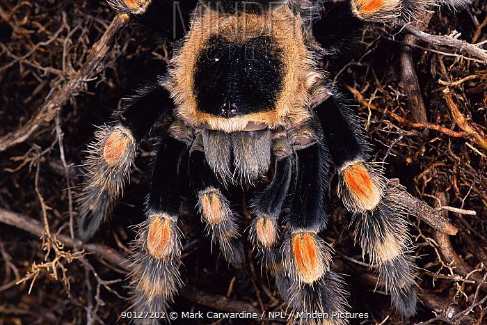 Mexican red-knee tarantula (Brachypelma smithi) Mexico  -  Mark Carwardine/ npl