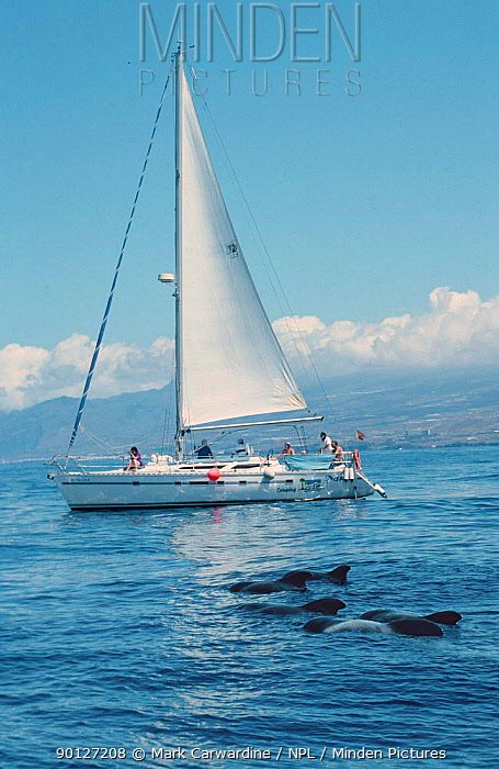 Whale watching Short finned pilot whales from yacht, Tenerife, Canary Is  -  Mark Carwardine/ npl