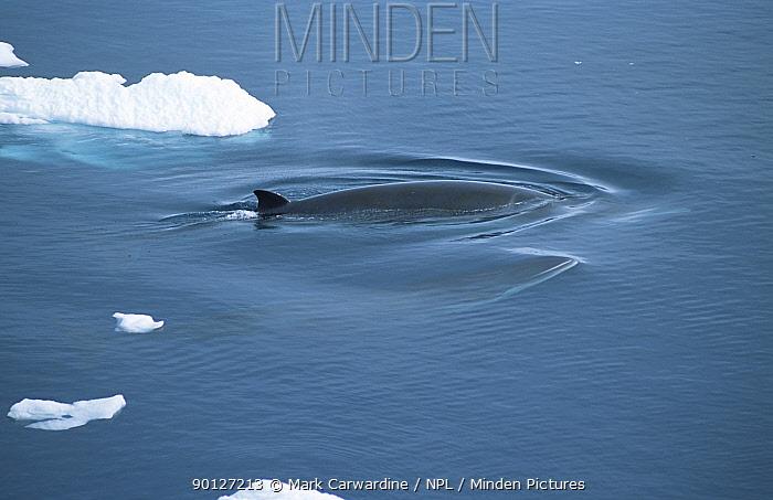 Antarctic minke whales (Balaenoptera bonaerensis) Antarctica  -  Mark Carwardine/ npl